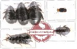 Scientific lot no. 2 Blattodea (A2) (6 pcs)