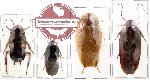 Scientific lot no. 4 Blattodea (4 pcs) (2 pcs A-)