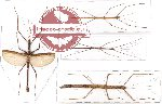 Scientific lot no. 3 Phasmatodea (4 pcs)