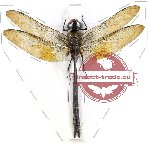 Odonata sp. 57A (closed)