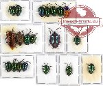Scientific lot no. 20A Heteroptera (Scutellarinae) (20 pcs A, A-, A2)