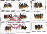 Scientific lot no. 4 Formicidae (45 pcs)