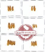 Scientific lot no. 7 Oedemeridae (19 pcs)