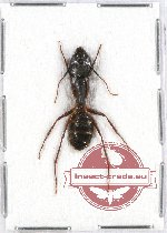Formicidae sp. 52A (10 pcs)