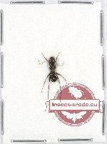 Formicidae sp. 56 (5 pcs A2)