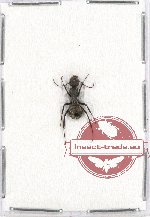 Formicidae sp. 59 (5 pcs A2)
