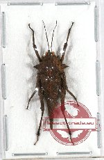 Orthoptera sp. 45 (3 pcs)
