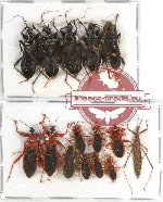 Scientific lot no. 101A Heteroptera (15 pcs A, A-, A2)