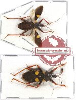 Scientific lot no. 150 Heteroptera (2 pcs)