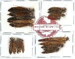 Lymexylonidae Scientific lot no. 1A (20 pcs)