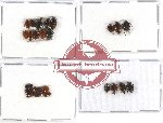 Scaphidiidae Scientific lot no. 8 (36 pcs - some A2)