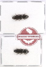 Scientific lot no. 1 Temnochilidae (2 pcs - 1 pc A2)