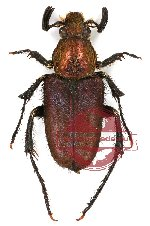 Amphicoma sp. 1 (5 pairs)