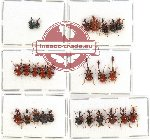 Scientific lot no. 27 Attelabidae (26 pcs)