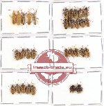 Scientific lot no. 166 Heteroptera (31 pcs A, A-, A2)