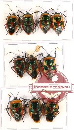Scientific lot no. 149 Heteroptera (10 pcs A-, A2)