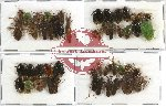 Scientific lot no. 155 Heteroptera (50 pcs - 14 pcs A2)