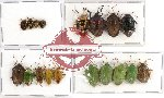 Scientific lot no. 163 Heteroptera (Pentatomidae) 18 pcs (A, A-, A2)