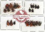 Scientific lot no. 23 Attelabidae (21 pcs - 5 pcs A2)