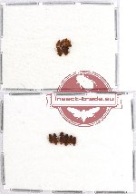 Laemophloeidae Scientific lot no. 6 (13 pcs)