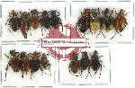 Scientific lot no. 4 Glaphyrinae (16 pcs A-, A2)