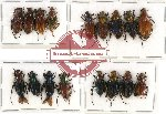 Scientific lot no. 3 Glaphyrinae (17 pcs A-, A2)