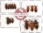 Scientific lot no. 163A Heteroptera (13 pcs A, A-, A2)