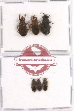 Scientific lot no. 165 Heteroptera (Aradiidae) (6 pcs)