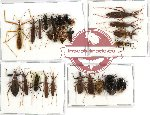 Scientific lot no. 157 Heteroptera (26 pcs A, A-, A2)
