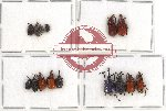 Scientific lot no. 24 Attelabidae (15 pcs)