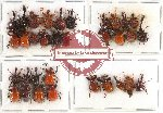 Scientific lot no. 26 Attelabidae (33 pcs A2)