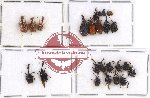 Scientific lot no. 25 Attelabidae (25 pcs - 2 pcs A2)