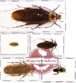 Scientific lot no. 10 Blattodea (5 pcs A, A-, A2)