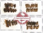Scientific lot no. 160 Heteroptera (59 pcs A, A-, A2)