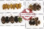 Scientific lot no. 161 Heteroptera (23 pcs A, A-, A2)