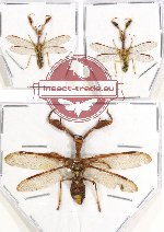Scientific lot no. 1 Mantispidae (3 pcs A2)