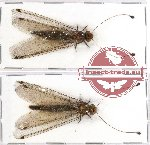 Scientific lot no. 1 Ascalaphidae (NEUROPTERA) (2 pcs A2)