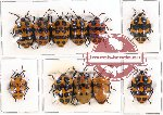 Scientific lot no. 1AB Heteroptera (Scutellarinae) (11 pcs A, A-, A2)