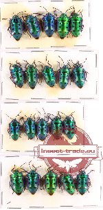 Scientific lot no. 148 Heteroptera (Scutellarinae) (20 pcs A-, A2)