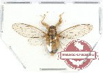 Cicadidae sp. 47 (SPREAD) (10 pcs)