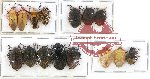 Scientific lot no. 190 Heteroptera (Pentatomidae) (15 pcs)