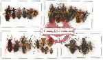 Scientific lot no. 184 Heteroptera (mainly Reduviidae) (26 pcs)