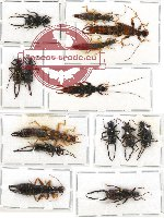 Scientific lot no. 10 Dermaptera (14 pcs A, A-, A2)