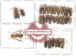 Scientific lot no. 9 Cantharidae (1 pc A2) (29 pcs)