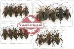 Scientific lot no. 176A Heteroptera (Coreidae) (18 pcs)