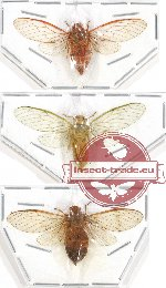 Scientific lot no. 6 Cicadidae (3 pcs - 1 pc A2)