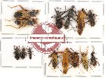 Scientific lot no. 181 Heteroptera (mainly Rediviidae) (14 pcs A-, A2)