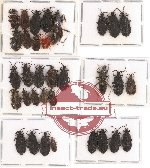 Scientific lot no. 177 Heteroptera (Aradidae) (33 pcs)