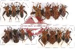 Scientific lot no. 191 Heteroptera (Coreidae) (15 pcs A-, A2)