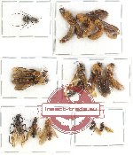 Scientific lot no. 5A Formicidae (14 pcs)